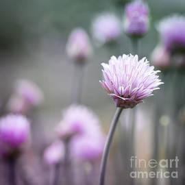 Elena Elisseeva - Chives flowering I