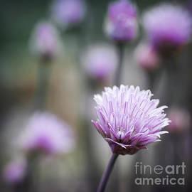 Elena Elisseeva - Chives flowering II