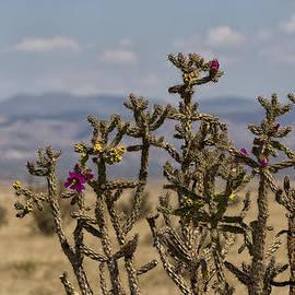 Brian Harig - Cholla Cactus and Jemez Mountains 1 - Santa Fe New Mexico