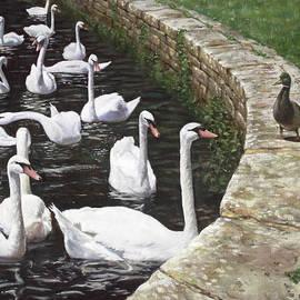 Martin Davey - christchurch harbour swans with Mallard Duck conversation