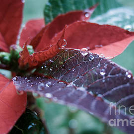 Peta Thames - Christmas Poinsettia with Dewdrops