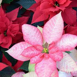 Kathleen Struckle - Christmas Pointsettia