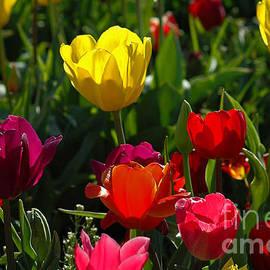 Nick  Boren - Christmas Tulips