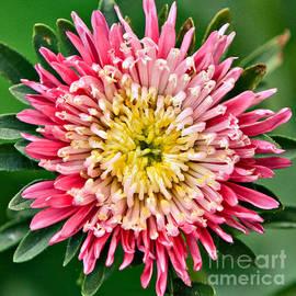 Dan Radi - Chrysanthemum