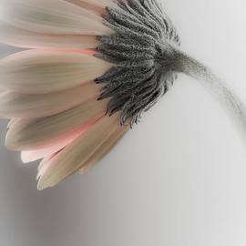 Jo Ann Tomaselli - Chrysanthemum Petals 1