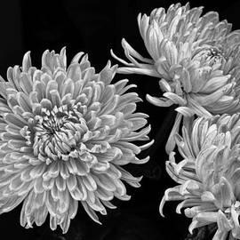Igor Baranov - Chrysanthemums