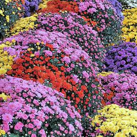Janice Drew - Chrysanthemums