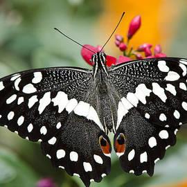 Saija  Lehtonen - Citrus Swallowtail Butterfly
