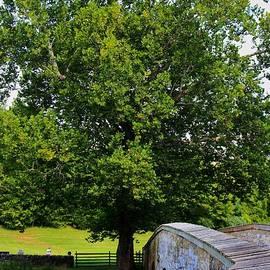 Patti Whitten - Civil War Era Eastern Sycamore Tree