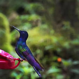 Al Bourassa - Classy Mindo Hummingbird