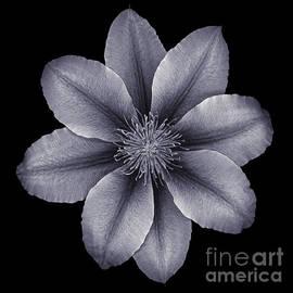 Oscar Gutierrez - Clematis Blossom