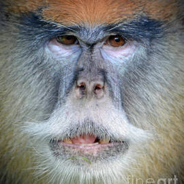 Close up of a Patas Monkey