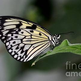 Imran Ahmed - Close up of beautiful Malabar Tree Nymph butterfly resting on leaf