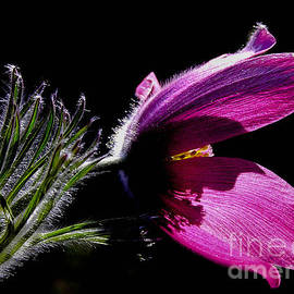 Kerstin Ivarsson - Closeup - Purple pasque Flower with dark background