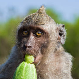 Nila Newsom - Closeup Monkey Eating Cucumber