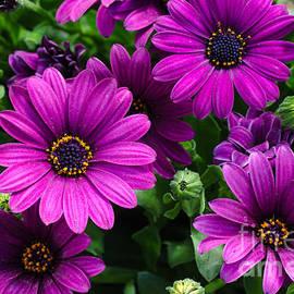 Kennerth and Birgitta Kullman - Closeup of a bouquet purple dasies