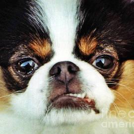 Jim Fitzpatrick - Closeup of a Japanese Chin Dog