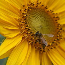 Rob Luzier - Closeup Of Honey Bee.