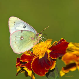 Christina Rollo - Clouded Sulphur Butterfly