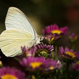 Saija  Lehtonen - Cloudless Sulphur Butterfly