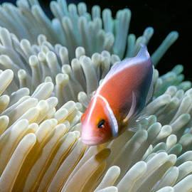 Dawn Eshelman - Clownfish 9