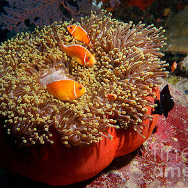 Aaron Whittemore - Clownfish