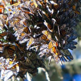 Patricia Sanders - Clustering Monarch Butterflies