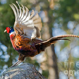 Torbjorn Swenelius - Cock Pheasant flapping his wings