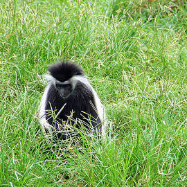 Aimee L Maher Photography and Art - Colobus Monkey