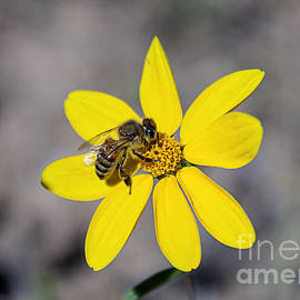 Janice Rae Pariza - Colorado Alpine Bee