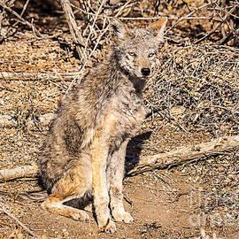 Janice Rae Pariza - Colorado Coyote