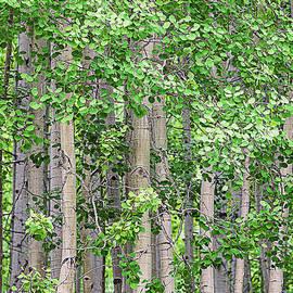 Janice Rae Pariza - Colorado Spring Aspens