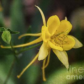 Janice Rae Pariza - Colorado Yellow Columbine