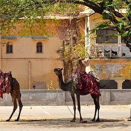Kim Bemis - Colorful Camels - Jaipur India