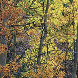 Brian Harig - Colorful Changing Aspens Panorama - Divide Colorado