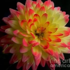 Kathleen Struckle - Colorful Dahlia