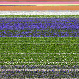 Kiril Stanchev - Colorful fields of tulips and hyacinth in Netherland.