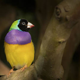 Penny Lisowski - Colorful Gouldian Finch
