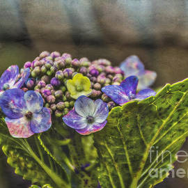 Mitch Shindelbower - Colorful Hydrangea