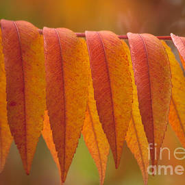 Heiko Koehrer-Wagner - Colorful Sumac foliage in fall