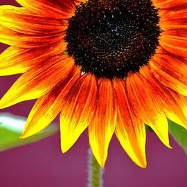 Karen  Majkrzak - Colorful Sunflower and Bee