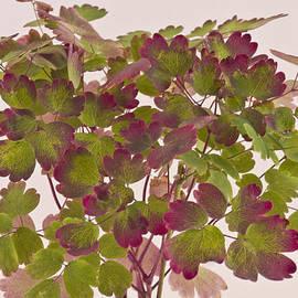 Sandra Foster - Colorful Wild Columbine Leaves