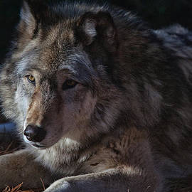 Karol  Livote - Colors of a Wolf