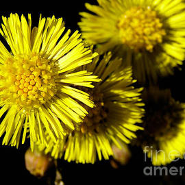 Kerstin Ivarsson - Coltsfoot flowers in sunlight