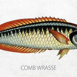Comb Wrasse