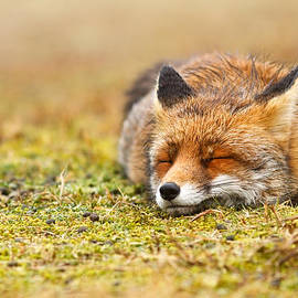 Roeselien Raimond - Comfortably Fox