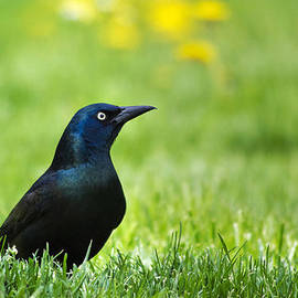 Christina Rollo - Common Grackle