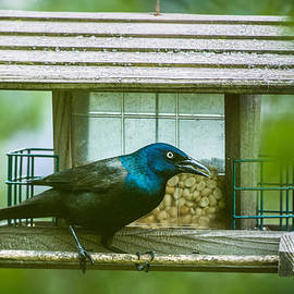 Onyonet  Photo Studios - Common Grackle on Bird Feeder