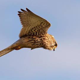 Roeselien Raimond - Common Kestrel hovering in the sky