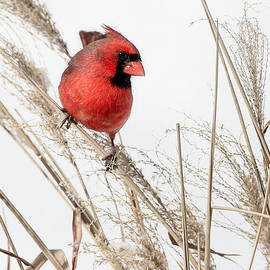Bill  Wakeley - Common Northern Cardinal